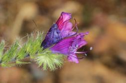 Wegerichblättriger Natternkopf / Purple viper's-bugloss, Paterson's curse / Echium plantagineum