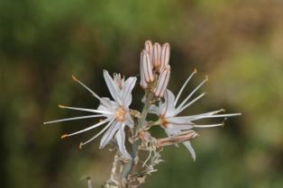 Röhriger Affodill / Onionweed, Onion-leafed asphodel, Pink asphodel / Asphodelus fistulosus