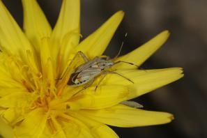 Weichwanzen, Blindwanzen / Capsid bugs / Miridae