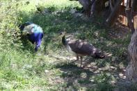 Blauer Pfau / Indian Peafowl / Pavo cristatus