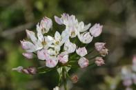 Rosen-Lauch / Rosy Garlic / Allium roseum ?