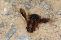 Megachile sicula