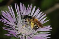 Gemeine Pelzbiene / Hairy-footed flower bee / Anthophora plumipes ?
