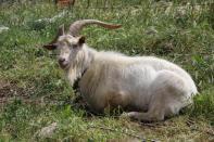 Hausziege / Goat / Capra aegagrus hircus