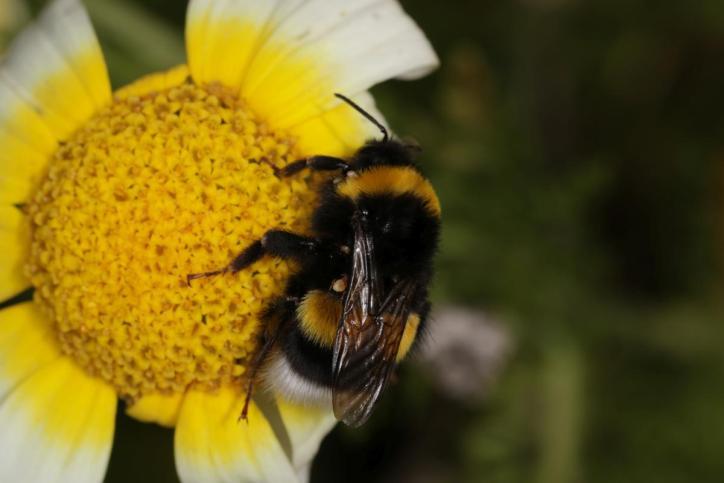 Dunkle Erdhummel / Buff-tailed bumblebee, Large earth bumblebee / Bombus terrestris ?
