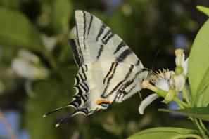 Segelfalter / Scarce swallowtail / Iphiclides podalirius