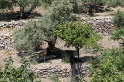 Oliven- und Zitronenbaum