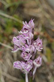 Dreizähniges Knabenkraut / Three-toothed orchid / Neotinea tridentata, Orchis tridentata
