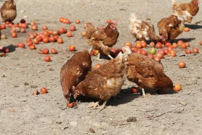 Haushuhn / Domestic chicken / Gallus gallus domesticus