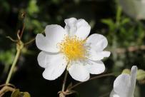 Hunds-Rose, Hundsrose, Hagrose, Heckenrose / Dog-rose / Rosa canina