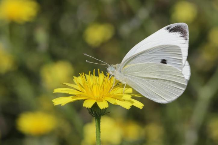 Kleiner Kohlweißling / Cabbage butterfly, Small White / Pieris rapae