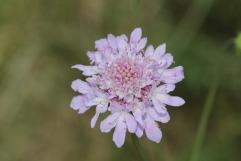 Samt-Skabiose / Scabiosa atropurpurea, Sixalix atropurpurea, Scabiosa maritima