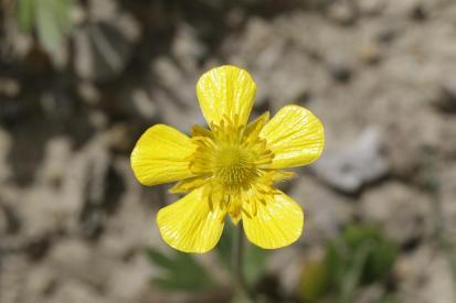 Blasiger Hahnenfuß / Autumn buttercup / Ranunculus bullatus ?