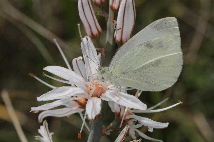 Kleiner Kohlweißling / Cabbage butterfly, Small White / Pieris rapae