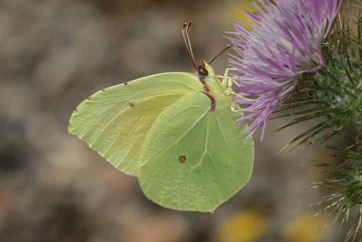 Zitronenfalter / Common brimstone / Gonepteryx rhamni