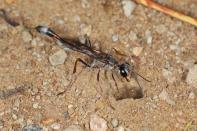 Thread-waisted Wasp / Thread-waisted Wasp / Ammophila ferrugineipes ?