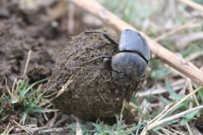 Mistkäfer / Earth-boring dung beetles / Geotrupidae