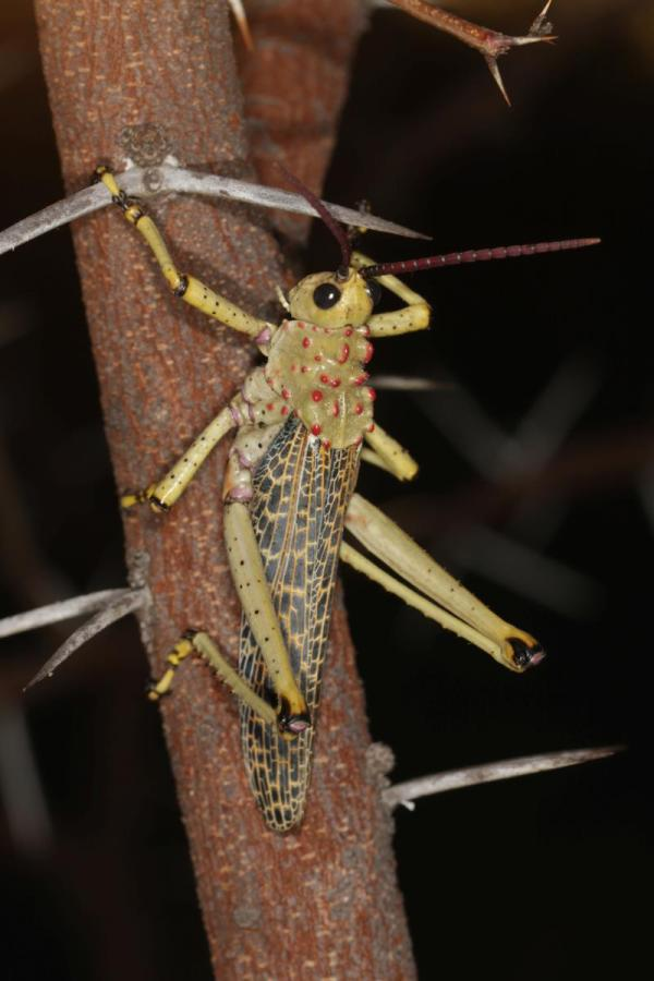Phymateus baccatus ?