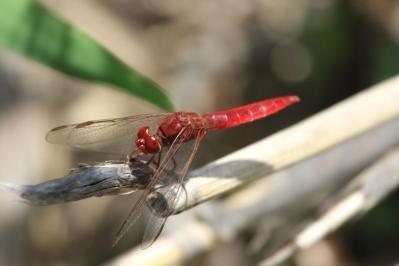 Rotader-Sonnenzeiger / Red-veined Dropwing / Trithemis arteriosa