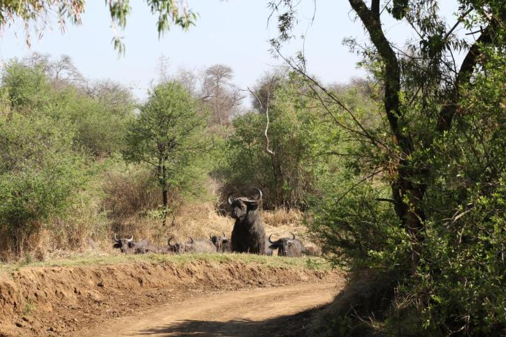 Kaffernbüffel / African buffalo, Cape buffalo / Syncerus caffer