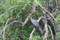 Riedscharbe / Reed cormorant, Long-tailed cormorant / Microcarbo africanus, Phalacrocorax africanus