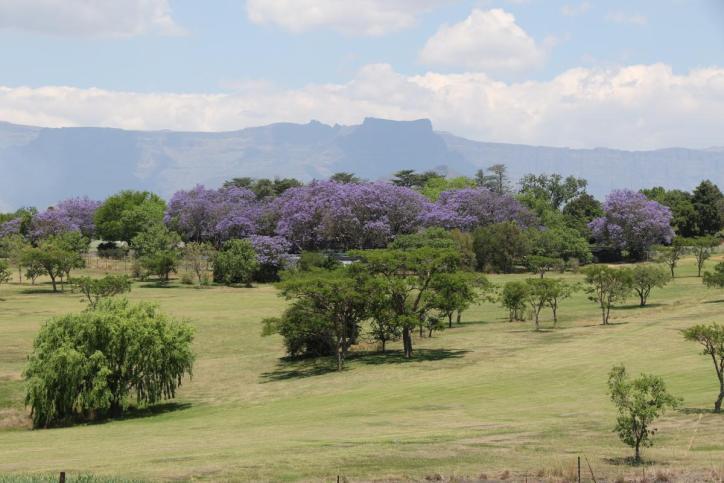 Palisanderholzbaum / Blue jacaranda / Jacaranda mimosifolia