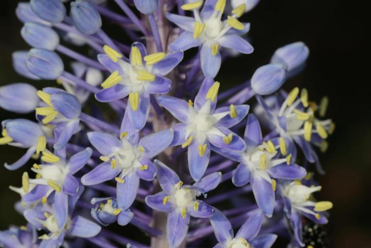 Merwilla plumbea, Scilla natalensis