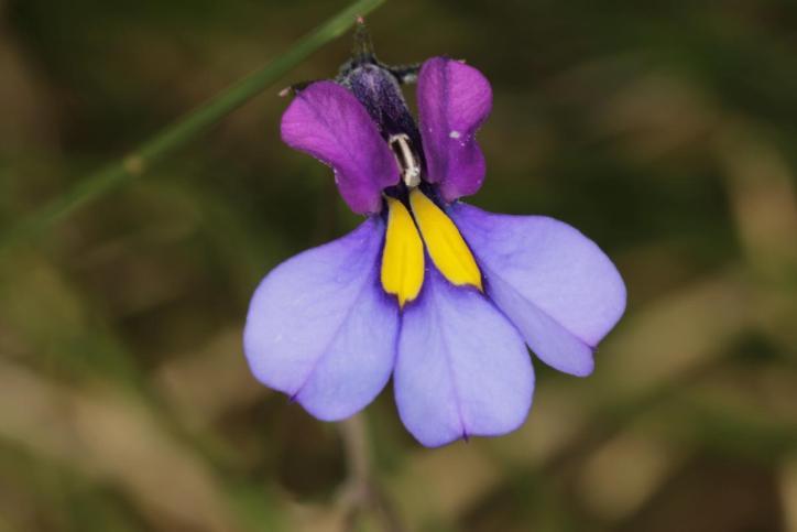 Fam. Glockenblumengewächse / Bellflowers / Campanulaceae
