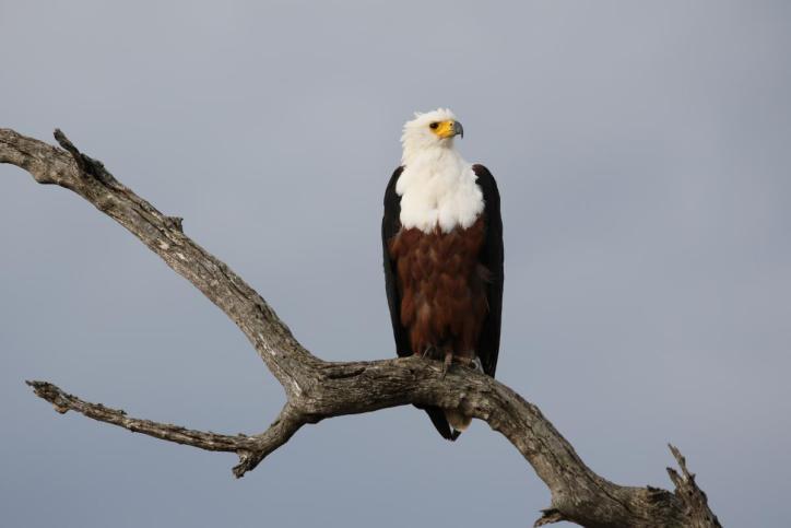 Schreiseeadler / African fish eagle / Haliaeetus vocifer