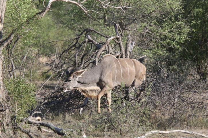 Großkudu / Greater kudu / Strepsiceros strepsiceros, Tragelaphus strepsiceros