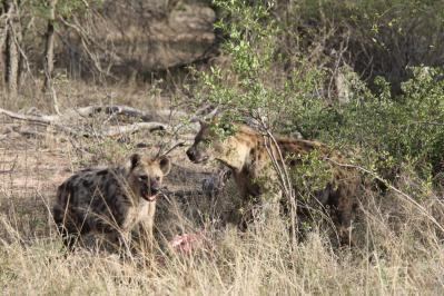Tüpfelhyäne, Fleckenhyäne / Spotted Hyena / Crocuta crocuta