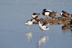 Säbelschnäbler / Pied Avocet / Recurvirostra avosetta