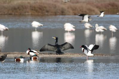 Kormoran / Great cormorant, Great black cormorant, Black shag / Phalacrocorax carbo