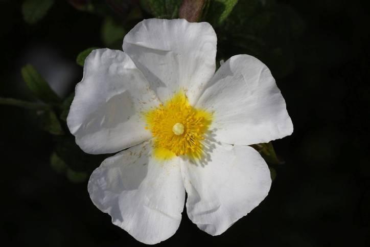 Salbeiblättrige Zistrose / Sage-leaved rock rose, Salvia cistus, Gallipoli rose / Cistus salviifolius