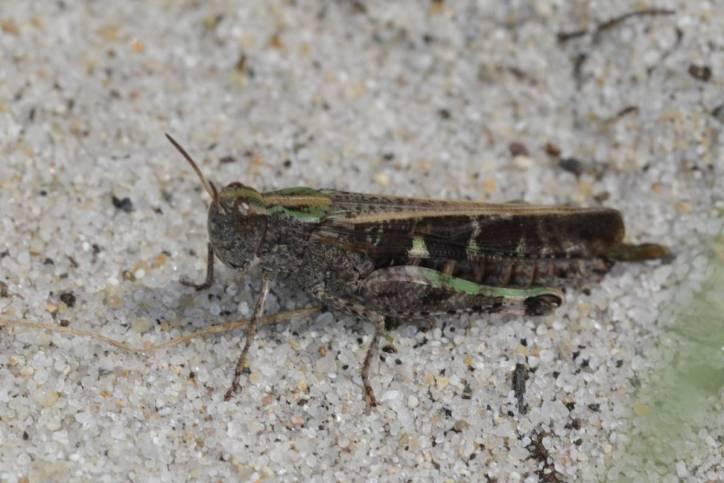 Kurzfühlerschrecken / Grasshoppers and locusts / Caelifera