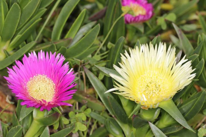 Essbare Mittagsblume, Gelbe Mittagsblume, Pferdefeige, Hottentottenfeige, Hexenfinger / Hottentot-fig, Ice plant, Highway ice plant, Pigface / Carpobrotus edulis