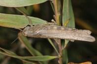 Ägyptische Wanderheuschrecke / Egyptian Locust / Anacridium aegyptium