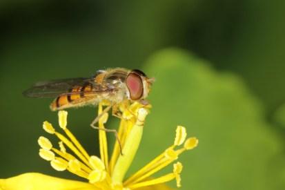 Hainschwebfliege, Winterschwebfliege / Marmalade hoverfly / Episyrphus balteatus
