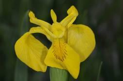 Sumpf-Schwertlilie / Yellow flag / Iris pseudacorus