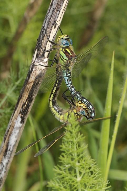 Blaugrüne Mosaikjungfer / Southern hawker / Aeshna cyanea