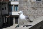 Mittelmeermöwe / Yellow-legged gull / Larus michahellis