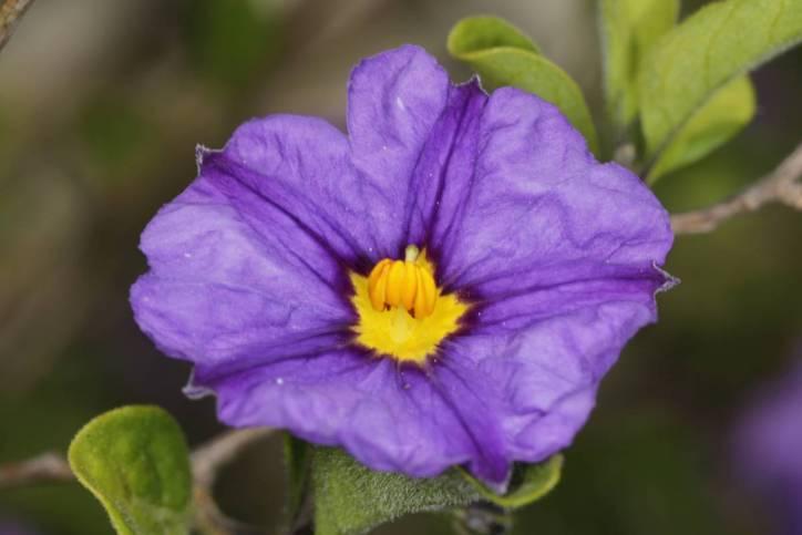Enzianstrauch, Kartoffelbaum / Blue potato bush / Lycianthes rantonnetii