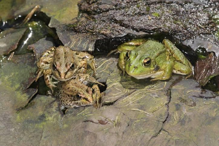 Teichfrosch, Wasserfrosch / Edible frog, Common water frog / Rana esculenta