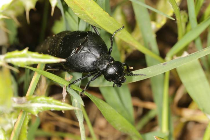 Kurzflügler / Rove beetles / Staphylinidae