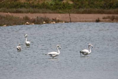 Rosaflamingo / Greater Flamingo / Phoenicopterus roseus