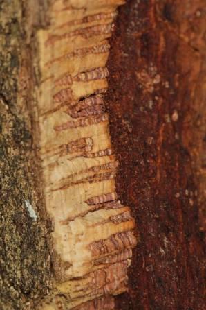 Korkeiche / Cork oak / Quercus suber