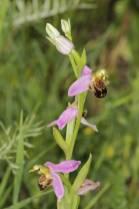 Bienen-Ragwurz / Bee orchid / Ophrys apifera