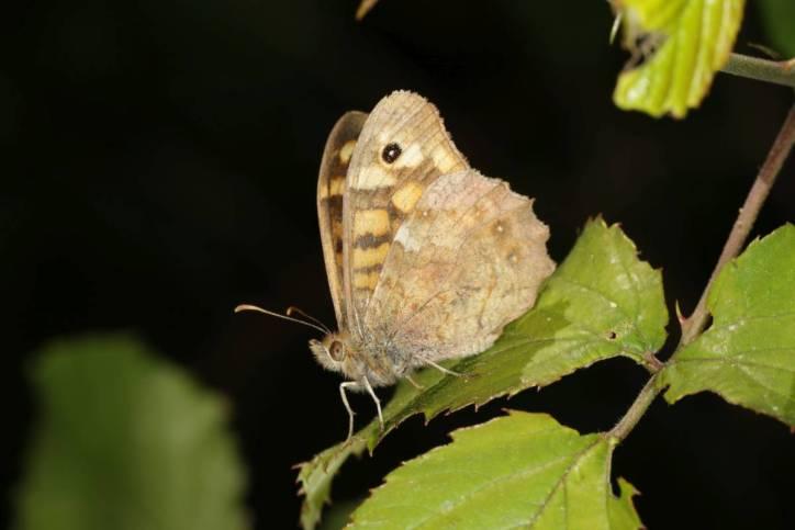 Waldbrettspiel / Speckled wood / Pararge aegeria