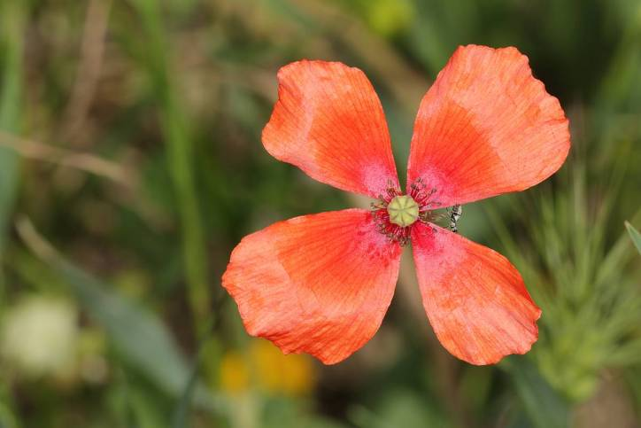 Saat-Mohn / Long-headed Poppy / Papaver dubium