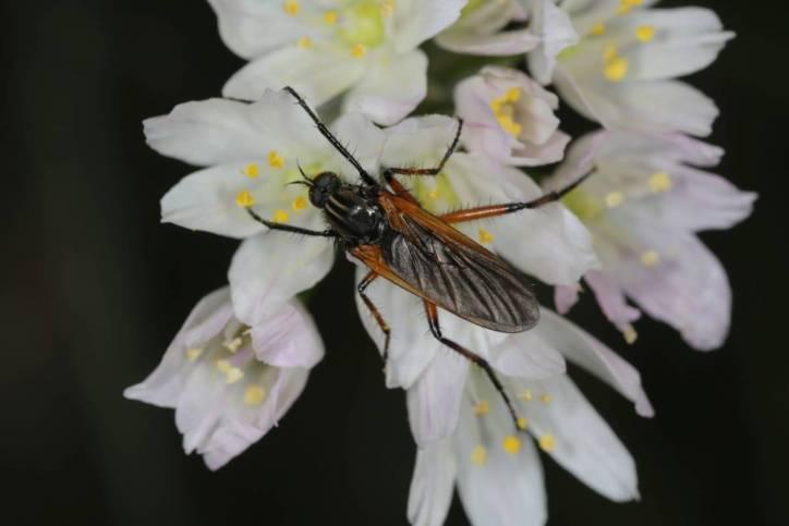 Fliegen / Brachycera